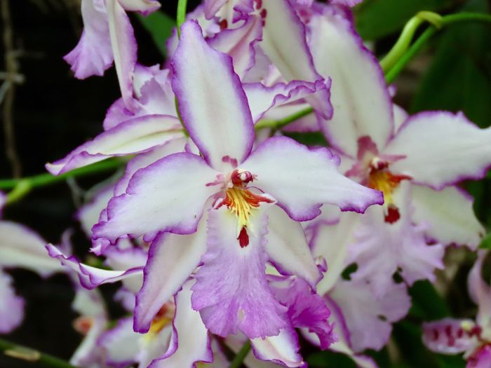 Orchids flowering plant white and lavender petals beauty in nature close up selective focus Flower Plant Close-up No People