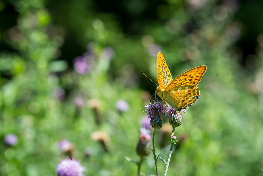 orange butterfly with dots - Argynnis paphia - on a thistle Argynnis Paphia Animal Animal Themes Animal Wildlife Animal Wing Animals In The Wild Beauty In Nature Butterfly Butterfly - Insect Close-up Flower Flower Head Flowering Plant Focus On Foreground Fragility Insect No People One Animal Outdoors Petal Plant Pollination Purple Thistle Flower