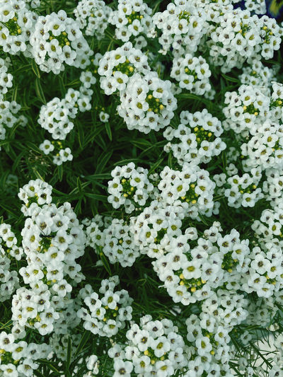 Full frame shot of white flowering plants