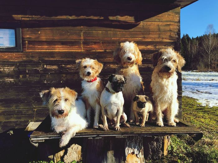 dogsfamily Familiydogs Two Pugs And Four Kromfohrländer F1 Kromfohrländer F1 Group Of Dogs Dog Domestic Animals Pets Animal Themes Mammal Togetherness Outdoors Sitting No People