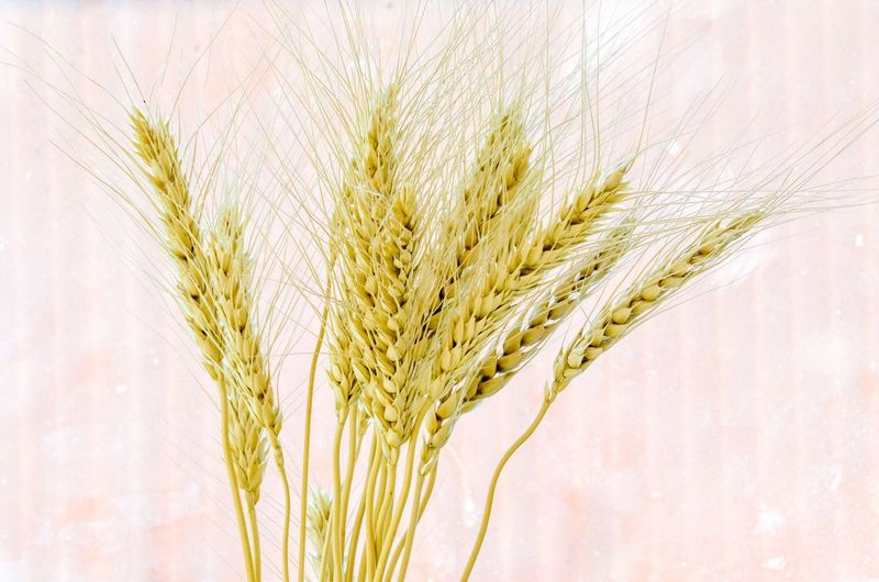 Close-up of wheat growing on plant