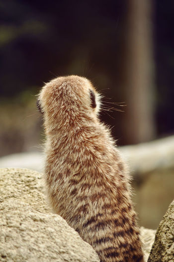 Close-up of meerkat by rock on field