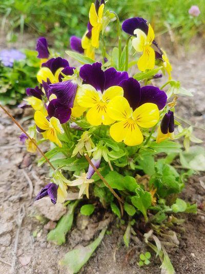 EyeEm Nature Lover EyeEmNewHere Flowerpower Purple Yellow Shotongalaxys7edge Flower Head Flower Petal Leaf Close-up Plant Blooming Wildflower