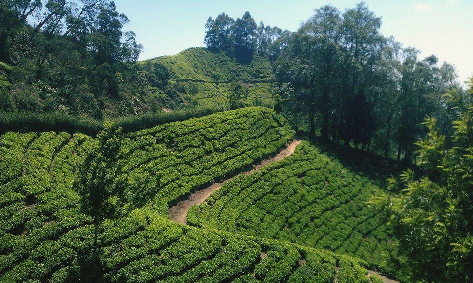 Tea Plantation  Tea Plant Growth Plant Tree Landscape Field Agriculture Plantation
