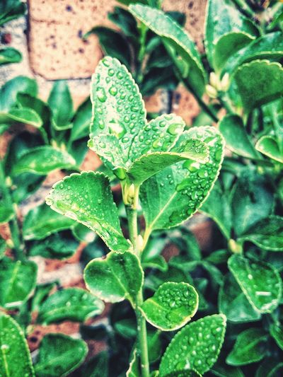 Rainy Days Water Drops Leaves Rainy Days Brick Wall Bush Leaf Close-up Plant Green Color Plant Life Shrub Foliage