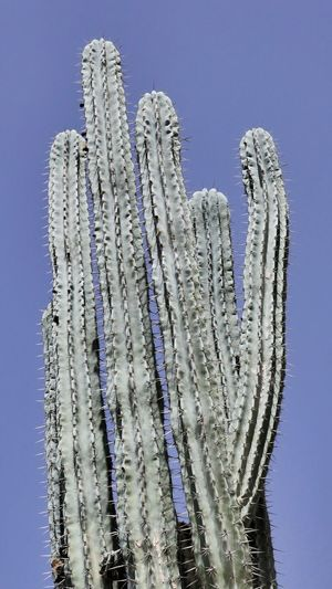 Close-up of cactus plant against clear blue sky