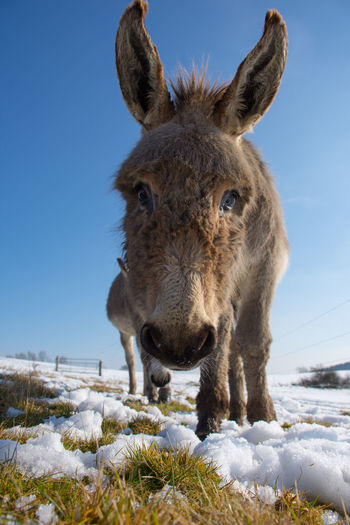 Animal Themes Beauty In Nature Clear Sky Close-up Cold Temperature Donkey Donkey Looking At Camera Looking At Camera Mammal No People One Animal Outdoors Portrait Snow Winter