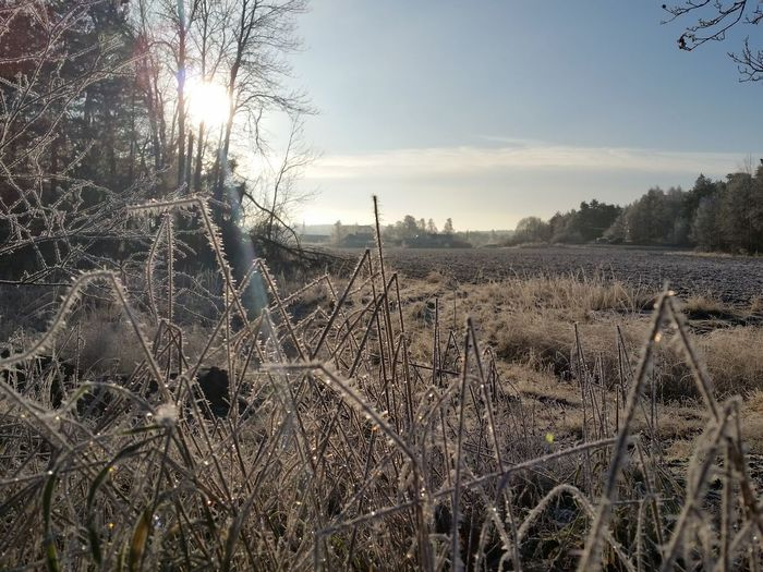 Frosty Clear Sky Sunny Growth Nature Field Agriculture No People Outdoors Day Close-up Beauty In Nature Sky Tree Freshness