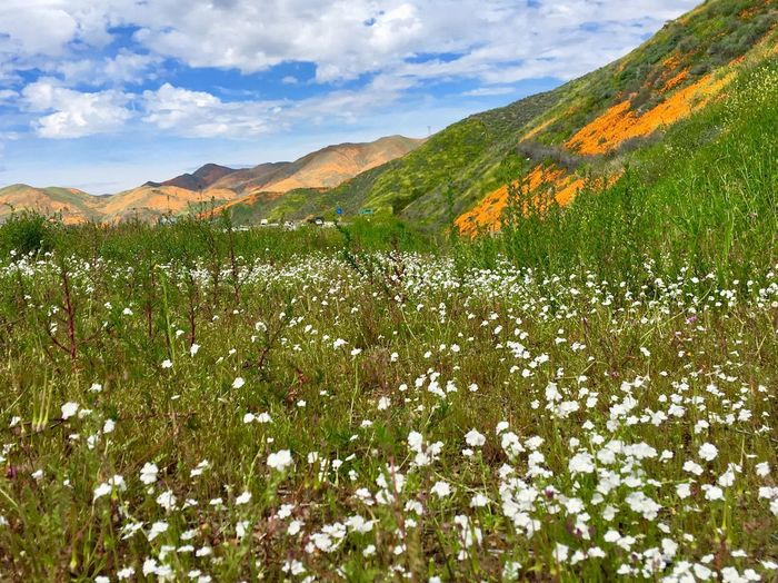 covered with wild flowers Beauty In Nature Plant Scenics - Nature Sky Flower Growth Flowering Plant Tranquility Mountain Environment Landscape Land Tranquil Scene Cloud - Sky