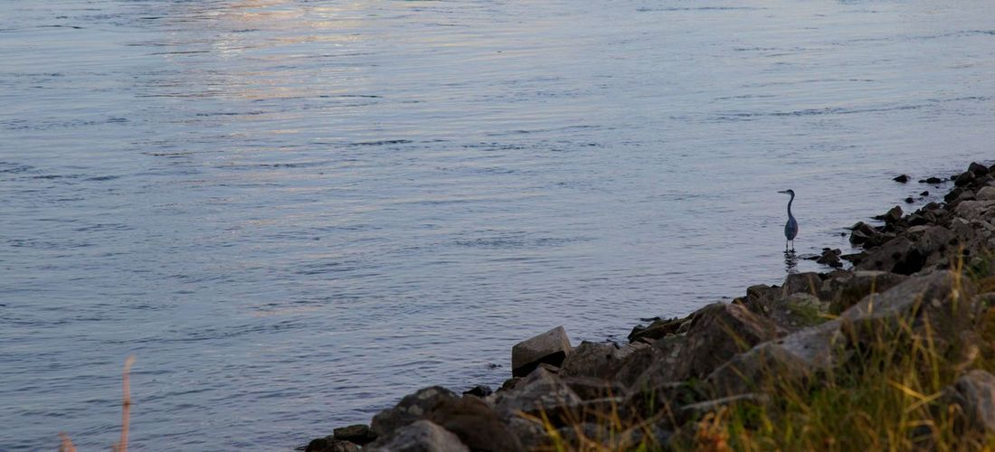 Heron Fishing Rheinufer Rhein River Bird Animals In The Wild