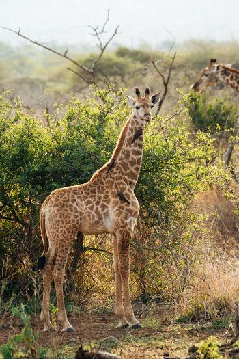 Giraffe standing on land