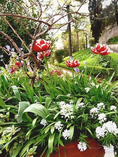 Spring in Tivoli Spring Flowers Composition Flowers,Plants & Garden Flowers, Nature And Beauty Tulips Tulips Spring Green Background Simply Beautiful Various Colors Red And White Flower Head Flower Red Tree Plant Blooming Wildflower Blossom Plant Life In Bloom Petal Visual Creativity