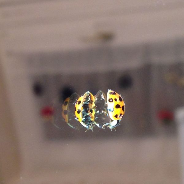 Adapted To The City Bugs Bugslife Climbing Harlequin Ladybird Lady Bug Mirror Multiple Safety In Numbers Slippery Spots