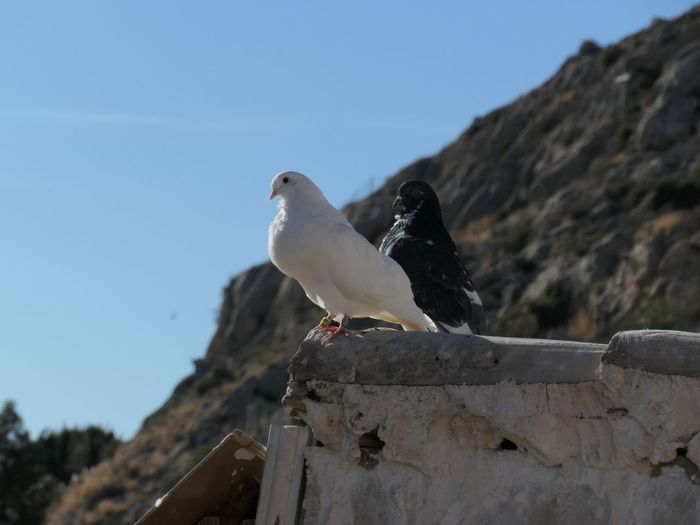 Partnered Dove EyeEm Selects Vertebrate Bird Animal Themes Animal Animals In The Wild Animal Wildlife Perching Sky Clear Sky One Animal Nature Day Focus On Foreground No People Low Angle View Solid Retaining Wall Seagull Rock Outdoors