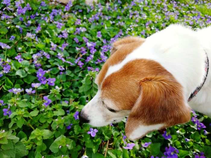Spring Mixed Breed Dog Dogs And Nature Sniffing Jackabee Flower Pets Beagle Dog Close-up Plant Wildflower Uncultivated