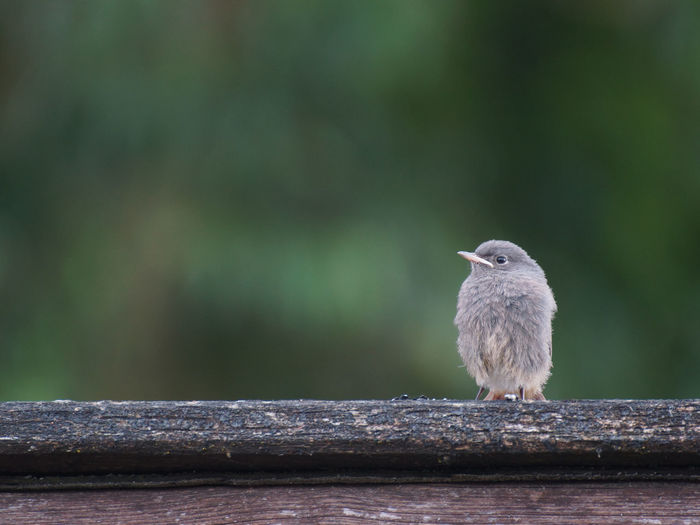 Lonely little bird Alone Animal Themes Bird Black Redstart Close-up Common Redstart Day Fear Fluffy Focus On Foreground Forlorn Frail Helpless Juvenile Juvenile Birds Loneliness Nature No People Outdoors Perching Selective Focus Tranquility Wildlife Wood - Material Wooden Post