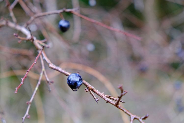 Fruit Healthy Eating Berry Fruit Focus On Foreground Close-up Nature Branch Ripe Twig Growth