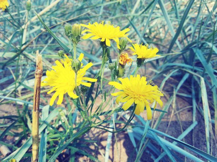 Flowers Yellow Yellowflower цветы желтый