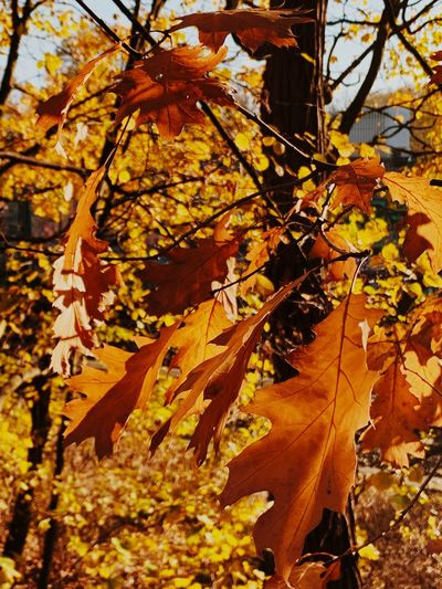 Autumn Plant Part Leaf Change Plant Tree Nature Beauty In Nature No People Outdoors Close-up Tranquility Sunlight Orange Color Natural Condition