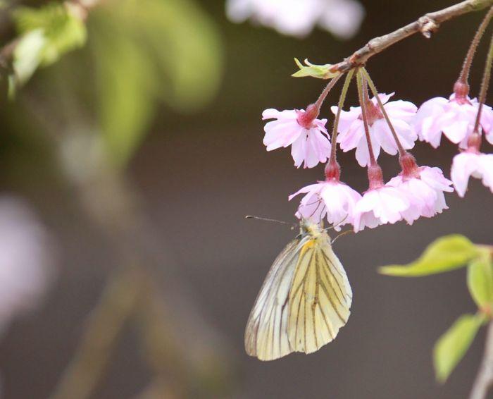 春を感じた日 Flower 蝶々 春