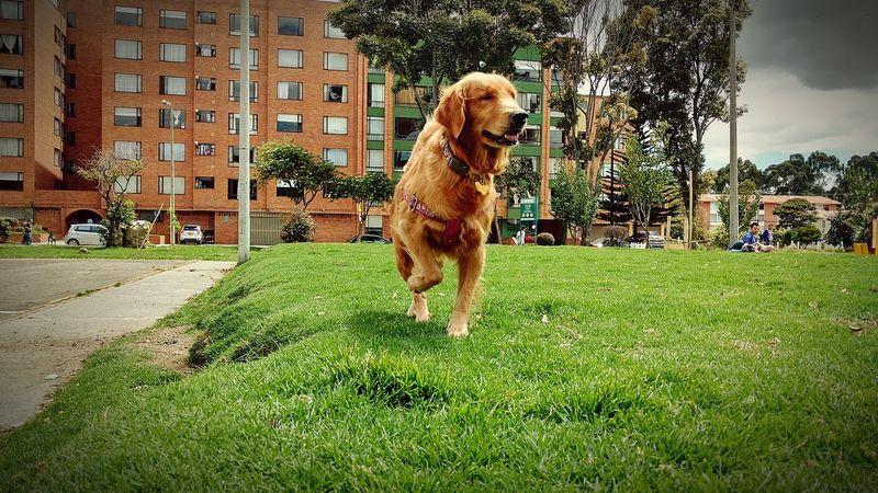 Domestic Animals One Animal Golden Golden Retriever Zelda Dog Perro En Casa Grass Outdoors Animal Enjoying Life Pet Portraits