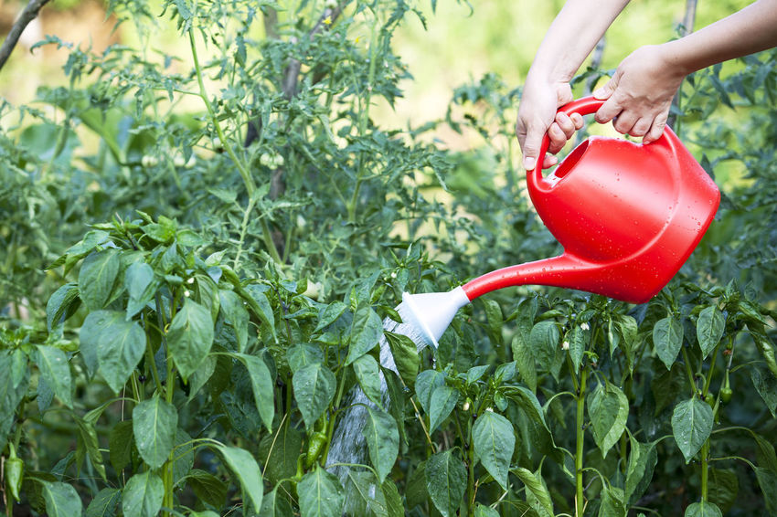Watering peppers in a garden with watering can. Agriculture Gardener Gardening Lifestyle Watering Plants Gardening Gardening Equipment Green Peppers Growth Hand Healthy Food Hobby Leisure Leisure Activity Nature Organic Outdoors Pepper Plant Rubber Boots Soil Vegetable Water Watering Watering Can