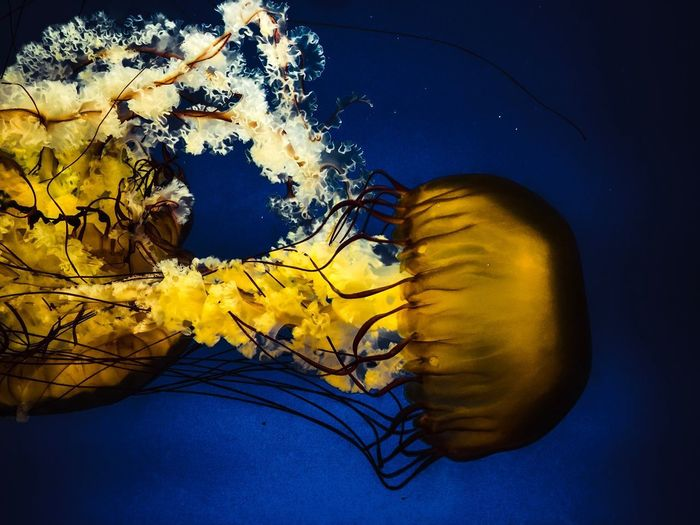 Jelly explosion Flow  Textured  Center Composition Blue And Orange Yellow Underwater Nature Jellyfish No People Close-up Beauty In Nature Day Fragility Flower Sky UnderSea Studio Shot Blue Sea Life Indoors