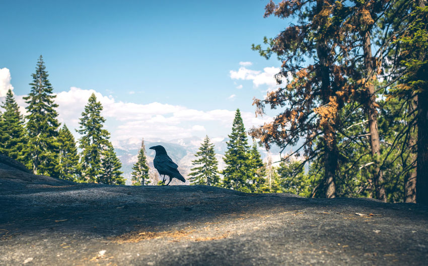 View of crow perching on rock against sky in forest