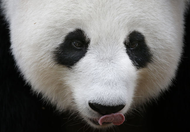 Animal Animal Body Part Animal Eye Animal Head  Animal Mouth Animal Nose Animal Themes Animal Wildlife Animals In The Wild Bear Close-up Domestic Domestic Animals Endangered Species Giant Panda Mammal No People One Animal Outdoors Panda - Animal Snout Vertebrate White Color Zoology