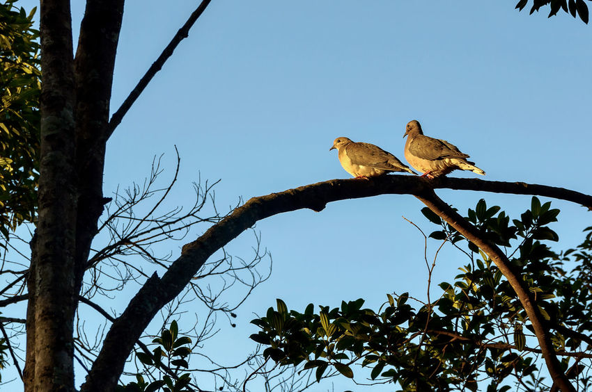 Bird Photography Couple Nature Photography Animal Themes Animal Wildlife Animals In The Wild Ave Bare Tree Beauty In Nature Beauty In Nature Bird Branch Clear Sky Day Low Angle View Nature No People Outdoors Perching Pomba Pomba Rola Sky Tree
