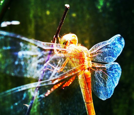 Dragonfly Insect Focus On Foreground Close-up Outdoors No People Day Damselfly Nature