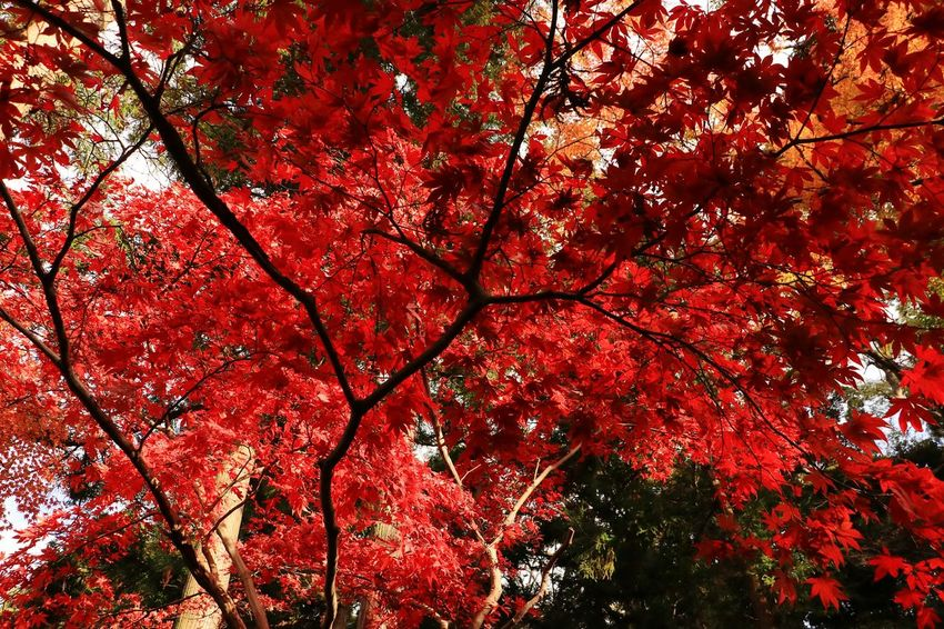 Low Angle View Autumn Tree Beauty In Nature Red Japan Landscape Japanese Temple Beauty In Nature Leaves And Colors Autumn Leaves Maple Leaf Red Color Autumn Maple Tree Low Angle View