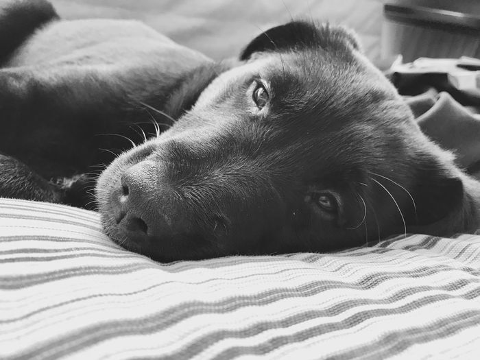 Sleepy time Pets Domestic Animals One Animal Animal Themes Mammal Dog Looking At Camera Portrait Close-up Indoors  No People Day Black & White Nap Time Puppy Black Labrador Retriever Flat Coated Retriever Relaxation Sunlight Pet Portraits