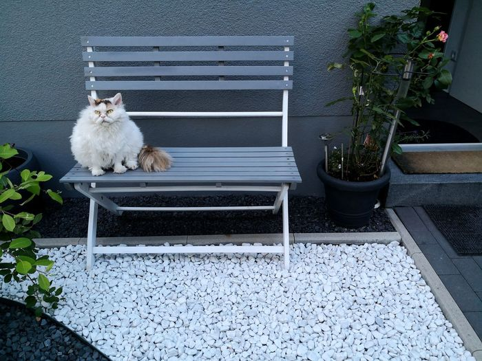 White Selkirk Rex cat sitting on bench outside her house Architecture Modern House Modern House Architecture Garden Zen Rockery Cat White Marble Pebbles Scene Home At Home Relaxing At Home EyeEm Selects Pets Dog Steps Whitewashed Steps And Staircases Bench Park Bench Stairs Doormat
