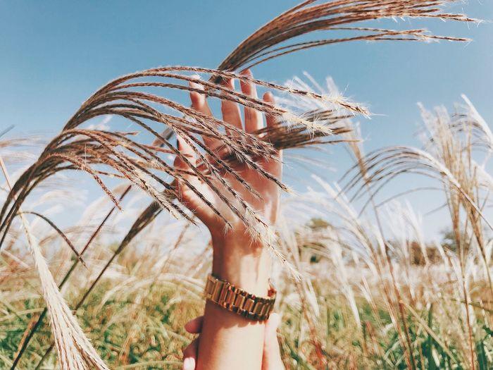 Freedom Wheat