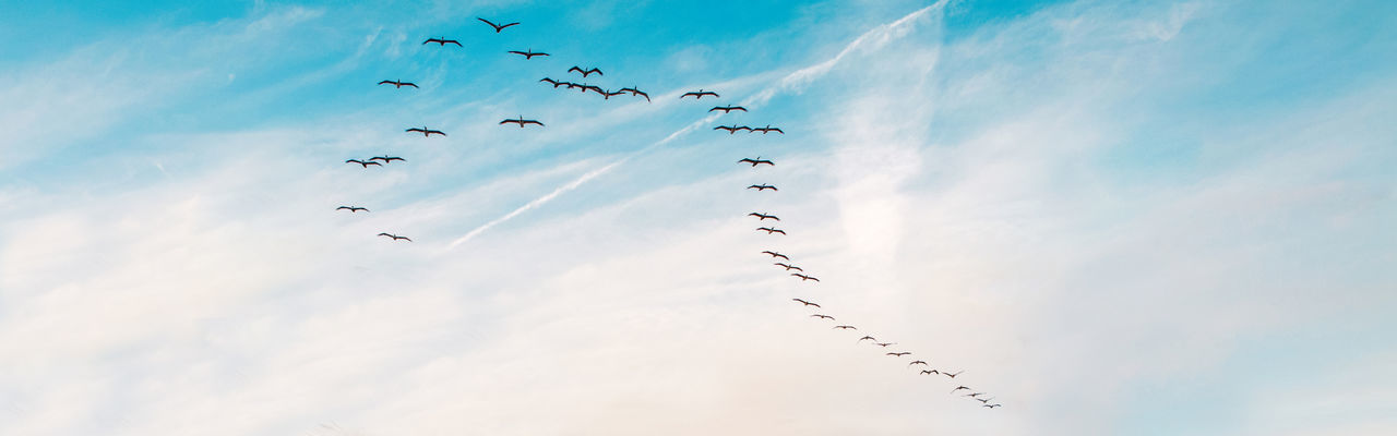 Large group flock of pelicans seagulls birds flying in blue sky on summer sunset. web banner header