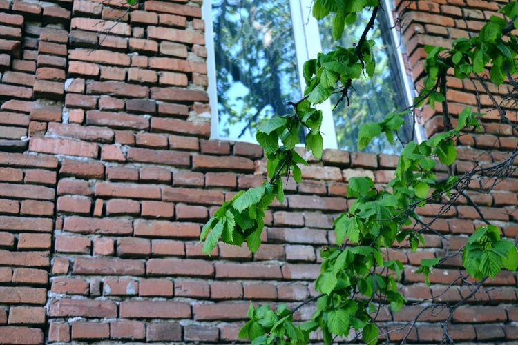 Ivy Leaf Brick Wall Architecture Sky Building Exterior Plant Built Structure Close-up Green Color Creeper Creeper Plant Window Box Tiled Roof  Growing Botanical Dense Fungus Young Plant Toadstool Stalk Bell Tower Rooftop Stone Wall Moss Green Stem Tendril Mushroom Lichen
