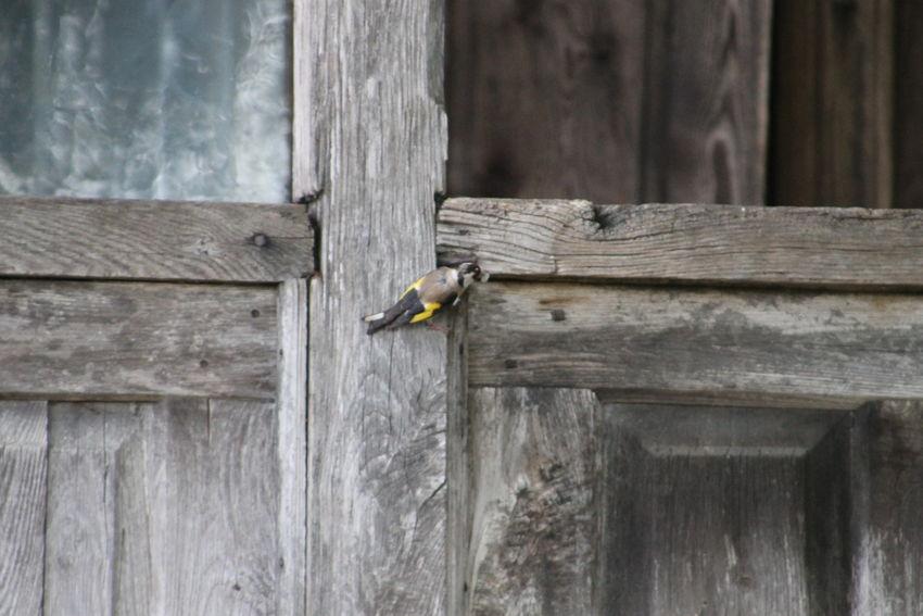 ჩიტბატონა The European goldfinch or goldfinch (Carduelis carduelis) Animal Themes Animal Wildlife Close-up Day European Goldfinch Focus On Foreground Nature No People Outdoors Plank Selective Focus Wildlife Wood Wood - Material Wooden ჩიტბატონა