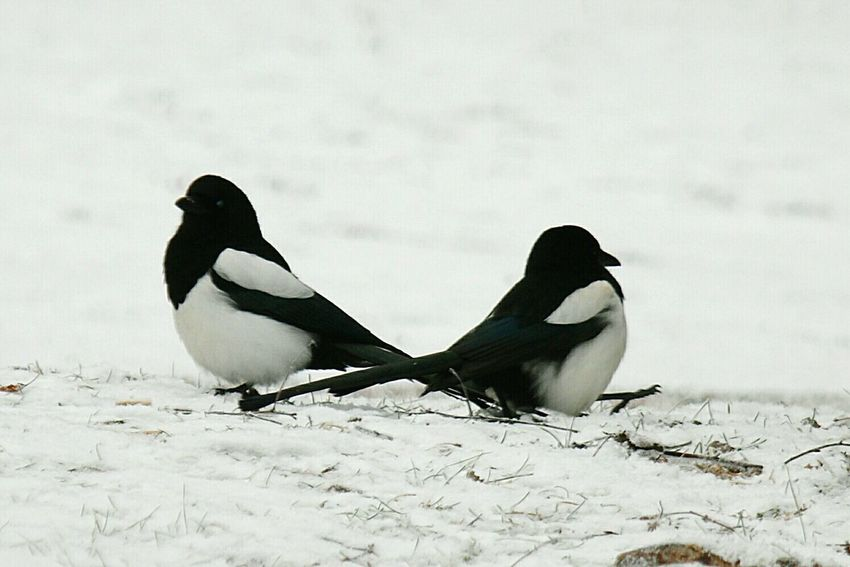 Maggie Wintertime Magpies Magpie EyeEm Birds Winter_collection It's Cold Outside Winter Season Birds🐦⛅ Birds January Showcase: January Birds_collection Bird Photography My Winter Favorites Birdwatching