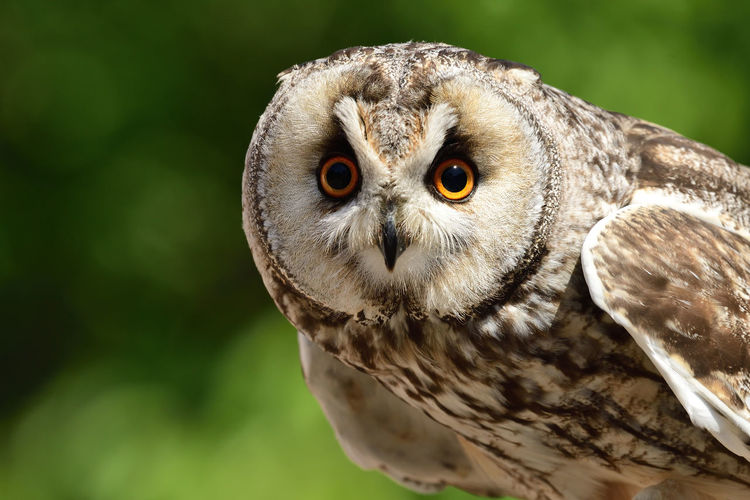 Close-up portrait of a long eared owl