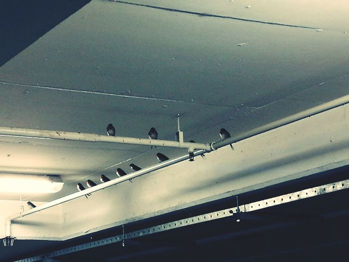 Swallows in a parking structure Architecture Indoors  Birds Swallows Pipes Sprinklers