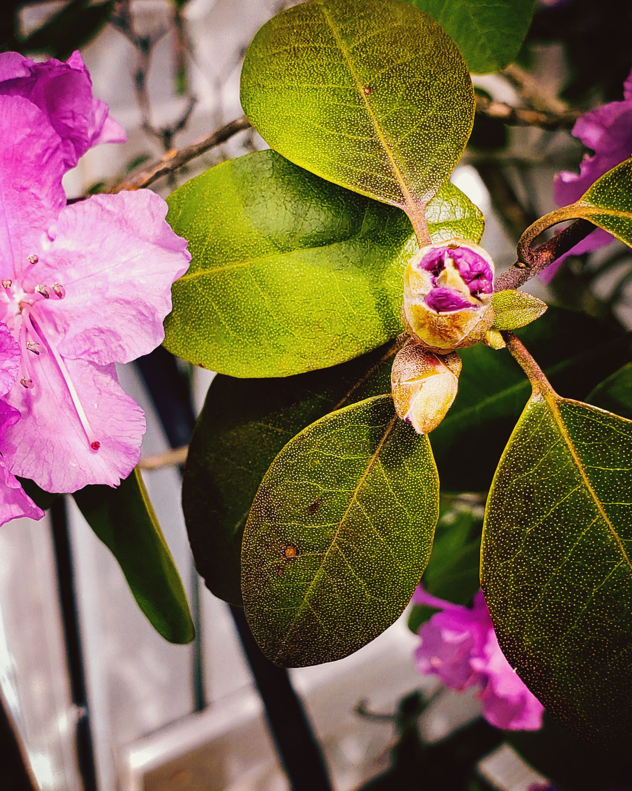 plant, flowering plant, flower, plant part, leaf, growth, beauty in nature, freshness, vulnerability, pink color, close-up, fragility, petal, focus on foreground, nature, no people, flower head, day, inflorescence, green color, purple, outdoors