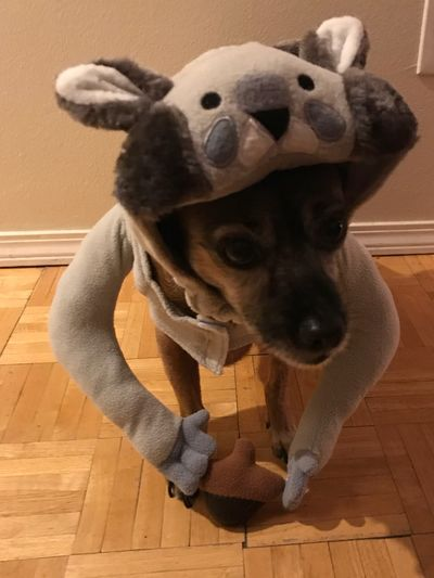 EyeEm Selects Dog Pets Indoors  Domestic Animals Home Interior Looking At Camera One Animal Mammal Sitting No People Portrait Close-up Animal Themes Day Halloween Squirrel He Hates It!