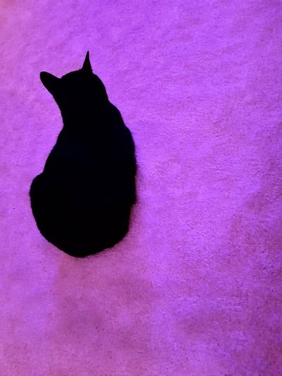 Cat Black Cat Overview Snapseed Pets Pink Color Pink Background Purple Domestic Cat Purple Background Magenta Purple Color Backgrounds Colorful