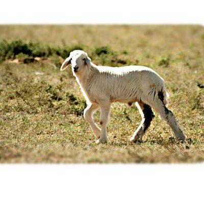 هرفي خروف مزرعة القصيم صورة غرد_بصورة حيوان animal Sheep byby bebe alqssem