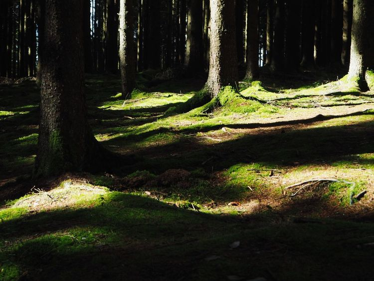 Tree Illuminated Forest Tree Trunk Sunlight Shadow Pinaceae WoodLand Pine Tree Grass Pine Woodland Evergreen Tree Forest Fire Long Shadow - Shadow Tree Area Natural Parkland Mountain Ridge Focus On Shadow Eastern Europe Treetop Moss Scenics
