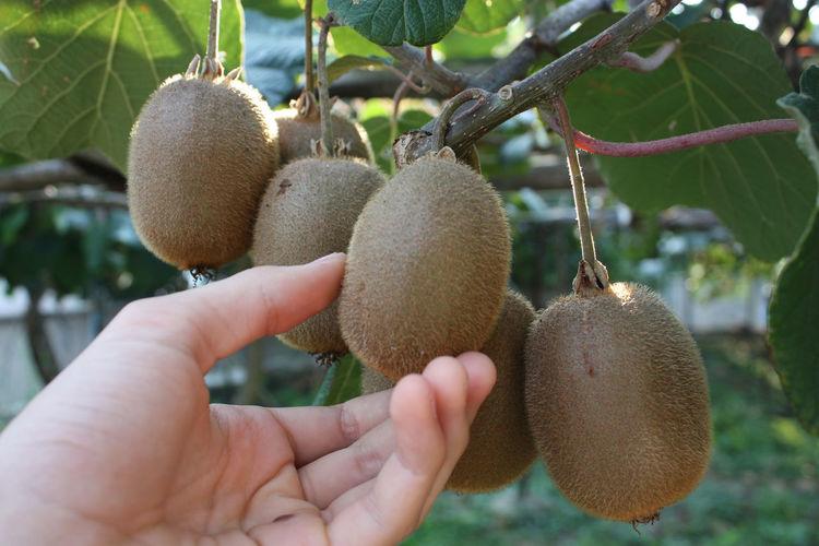 Hand holding kiwi fruit on a tree