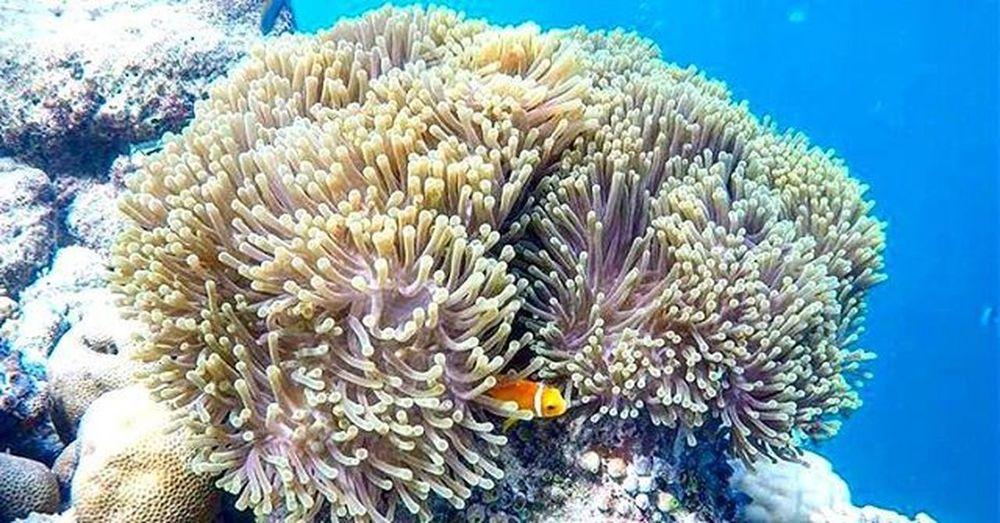 Nemo :D Nemo Diving SCUBA Anemone Blue Reef Corals Bubbles Brauchichmalwieder Maldives Got My Heart Maldivesgotmyheart Imisstheocean 🐟🐠🐳