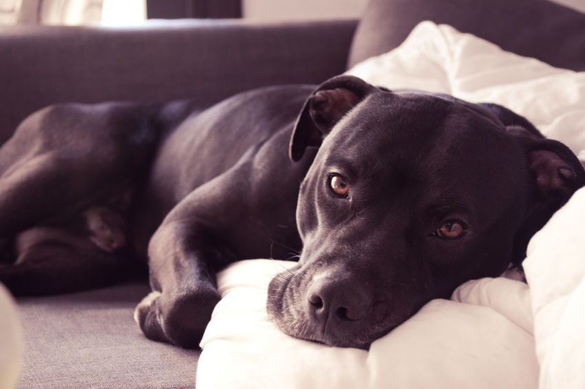 Sofa and chill Animal Animal Head  Animal Themes Bed Canine Close-up Dog Domestic Domestic Animals Focus On Foreground Furniture Home Interior Indoors  Lying Down Mammal No People One Animal Pets Pitbull Portrait Relaxation Stafordshire Bull Terrier Vertebrate