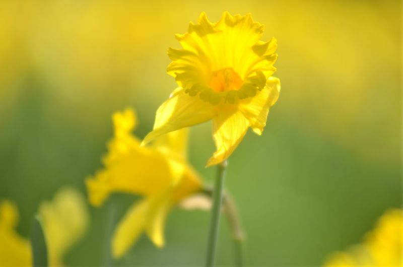 Flower Flowering Plant Yellow Plant Freshness Beauty In Nature Fragility Close-up Vulnerability  Growth Petal Nature Flower Head Inflorescence Selective Focus No People Blossom Springtime Outdoors Pollen Daffodils Flowers Daffodils In The Sun